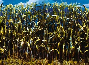 What?s Oklahoma! corn worth on the open market?